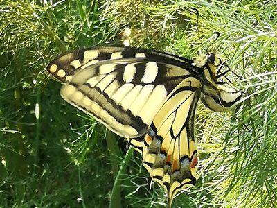 Le fenouil et le papillon machaon Pépinière d'un Songe