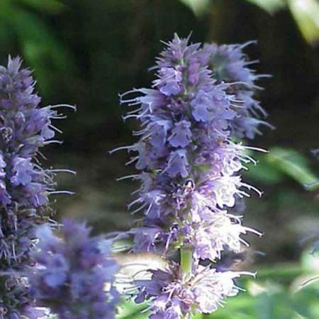Agastache anethiodora ~ Agastache anisée