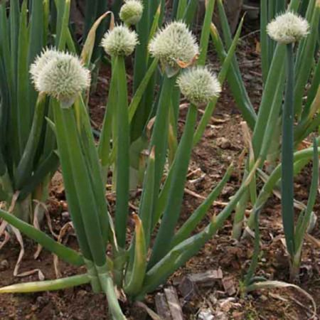 Allium fistulosum ~ Ciboule blanche