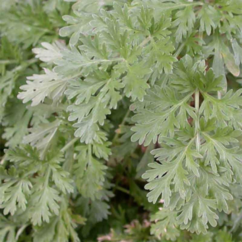 Artemisia absinthium 'Silverado' - Absinthe