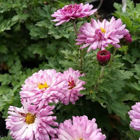 Chrysanthemum 'Mei Kyo'