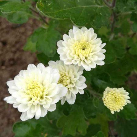Chrysanthème rustique blanc