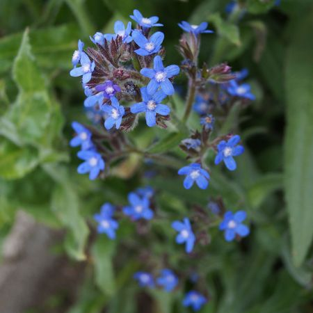 Anchusa azurea 'Dropemore'
