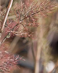 foeniculum-vulgare-purpureum-fenouil-bronze-motte-de-15l.jpg